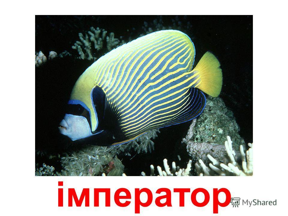 рыба-металлик