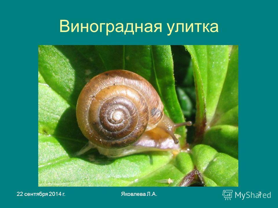 22 сентября 2014 г.Яковлева Л.А.7 Виноградная улитка