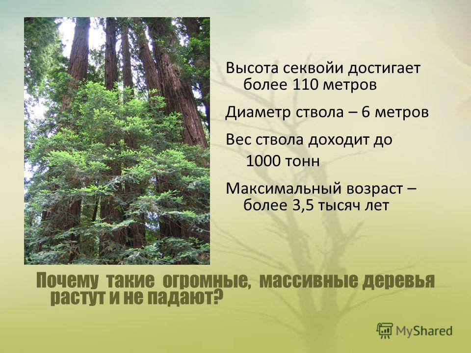 Почему такие огромные, массивные деревья растут и не падают? Высота секвойи достигает более 110 метров Диаметр ствола – 6 метров Вес ствола доходит до 1000 тонн Максимальный возраст – более 3,5 тысяч лет
