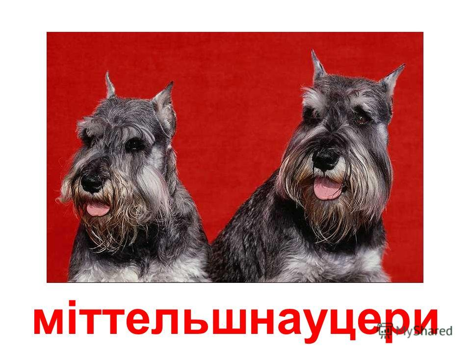 вівчарська собака