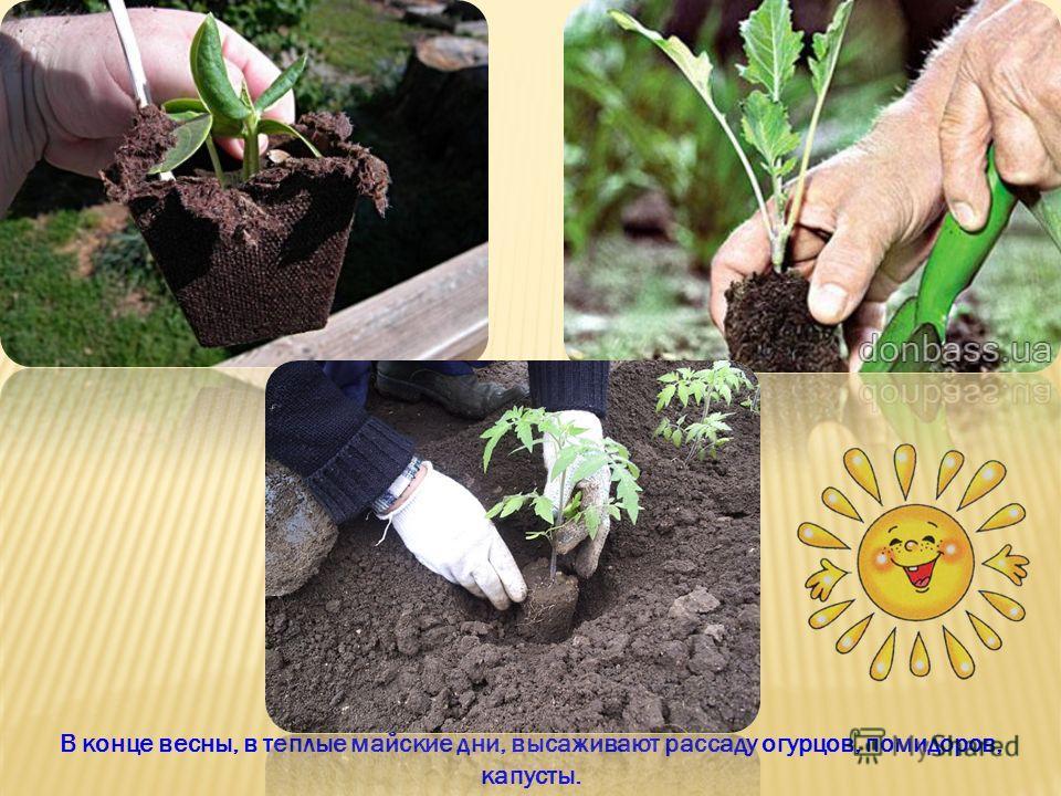 В конце весны, в теплые майские дни, высаживают рассаду огурцов, помидоров, капусты.