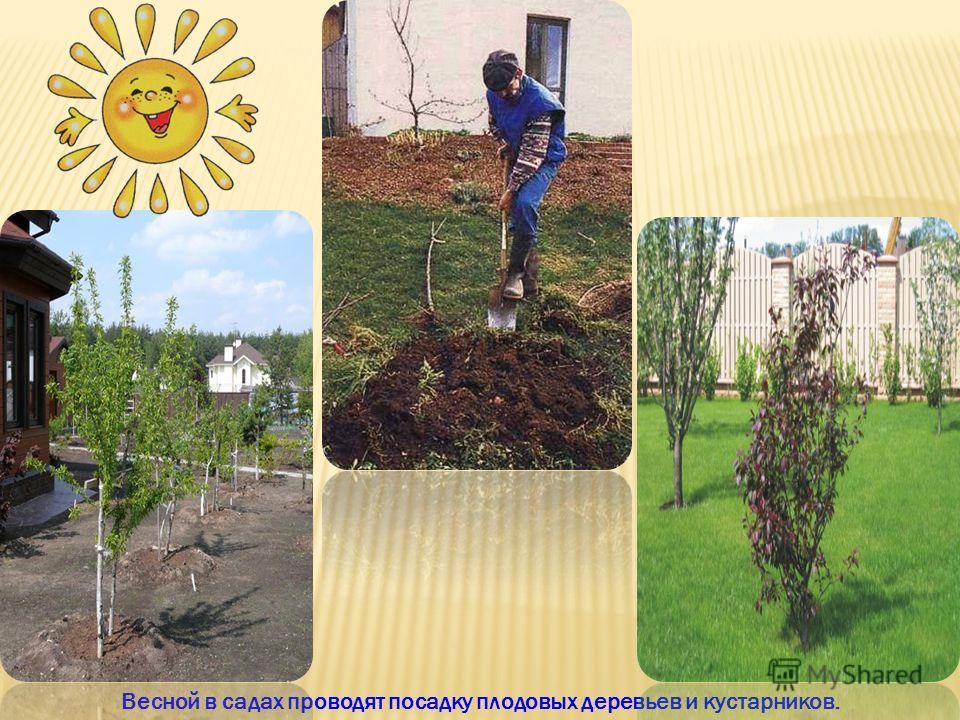 Весной в садах проводят посадку плодовых деревьев и кустарников.