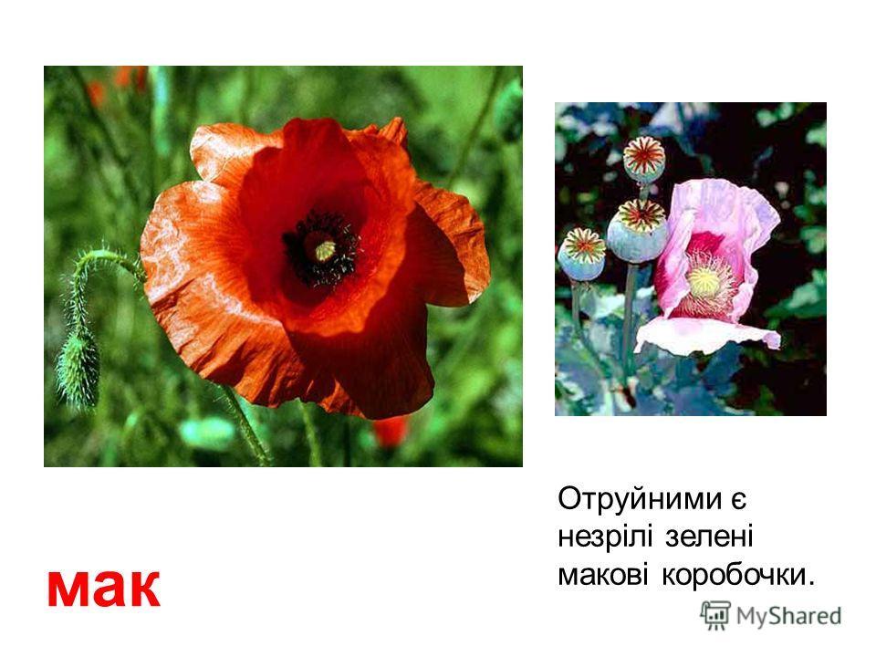 Лікарська отруйна рослина, особливо ягоды та коріння. паслен