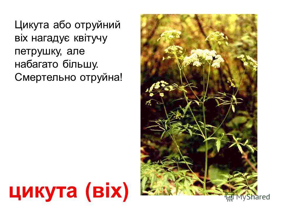 олеандр Смертельно отруйною є вся рослина! Не торкатися руками! Якщо прожувати і проковтнути один її листок, то доза отрути буде майже смертельною для дорослої людини!