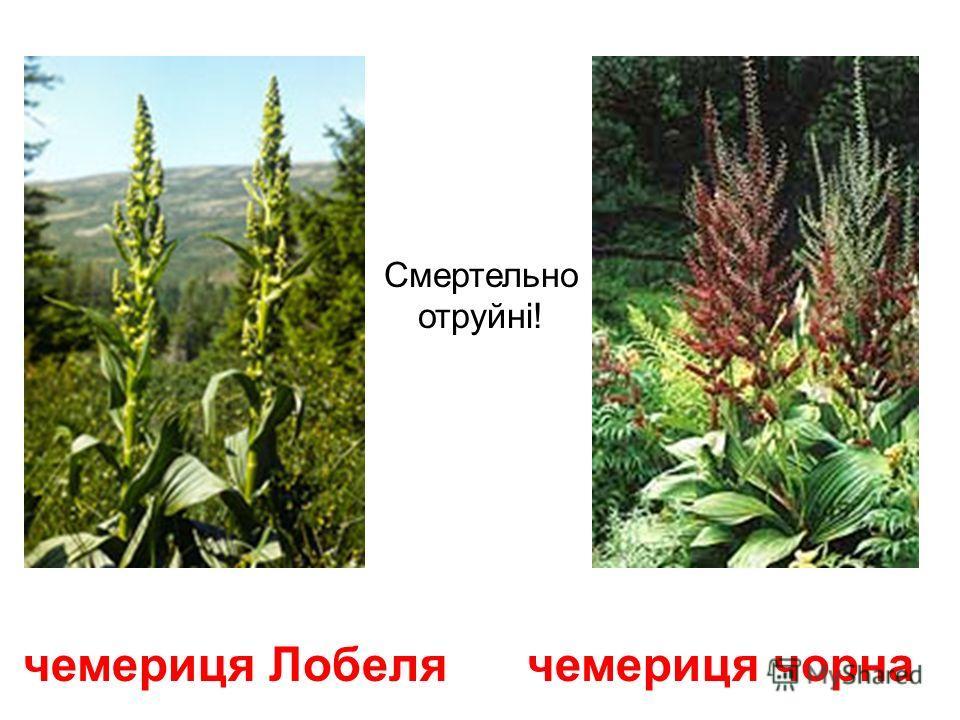цикута (віх) Цикута обо отруйний віх нагадує квітучу петрушку, але набагато більшу. Смертельно отруйна!