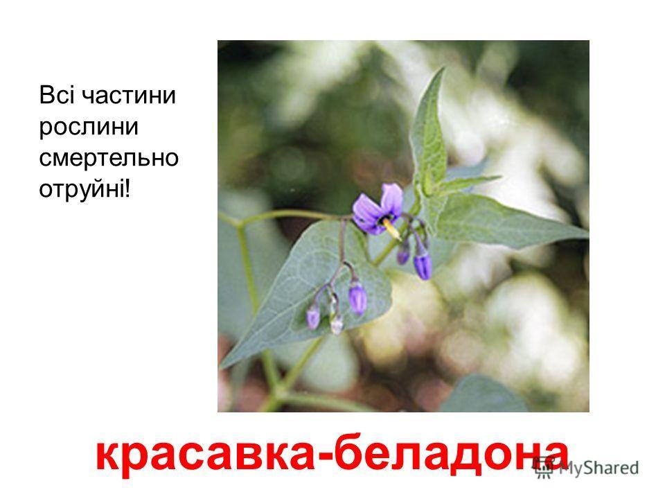 конвалія Всі частини рослини смертельно небезпечні. Отрута буде навіть у вазі з водою. Плід – червона ягода – тез отруйний.