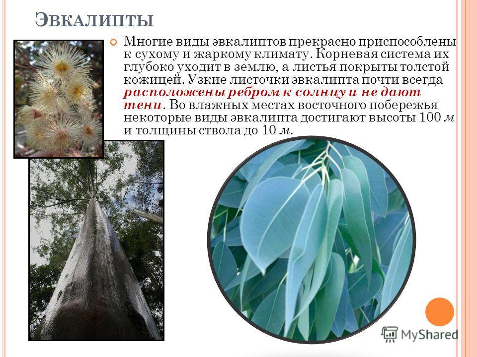 Многие виды эвкалиптов прекрасно приспособлены к сухому и жаркому климату. Корневая система их глубоко уходит в землю, а листья покрыты толстой кожицей. Узкие листочки эвкалипта почти всегда расположены ребром к солнцу и не дают тени. Во влажных мест