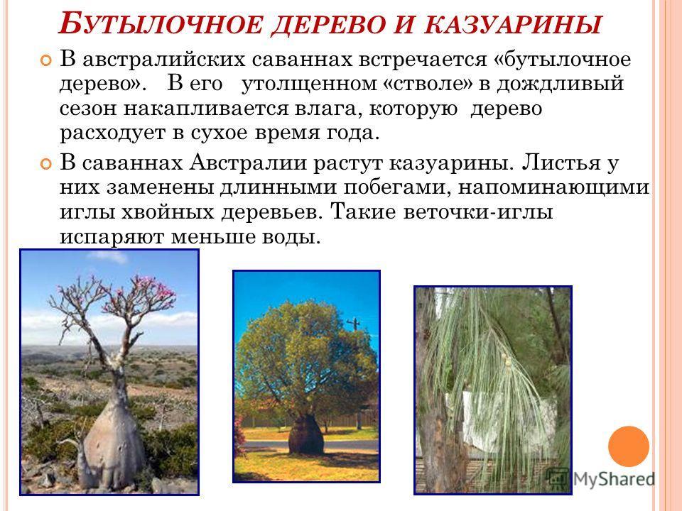 В австралийских саваннах встречается «бутылочное дерево». В его утолщенном «стволе» в дождливый сезон накапливается влага, которую дерево расходует в сухое время года. В австралийских саваннах встречается «бутылочное дерево». В его утолщенном «стволе