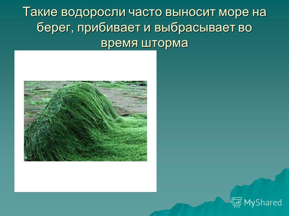 Такие водоросли часто выносит море на берег, прибивает и выбрасывает во время шторма