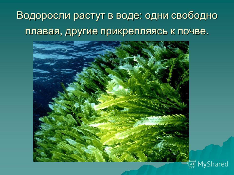 Водоросли растут в воде: одни свободно плавая, другие прикрепляясь к почве.