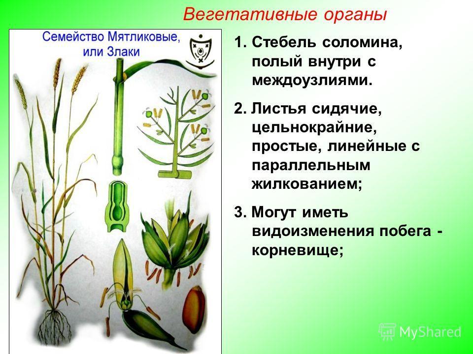 1. Стебель соломина, полый внутри с междоузлиями. 2. Листья сидячие, цельнокрайние, простые, линейные с параллельным жилкованием; 3. Могут иметь видоизменения побега - корневище; Вегетативные органы