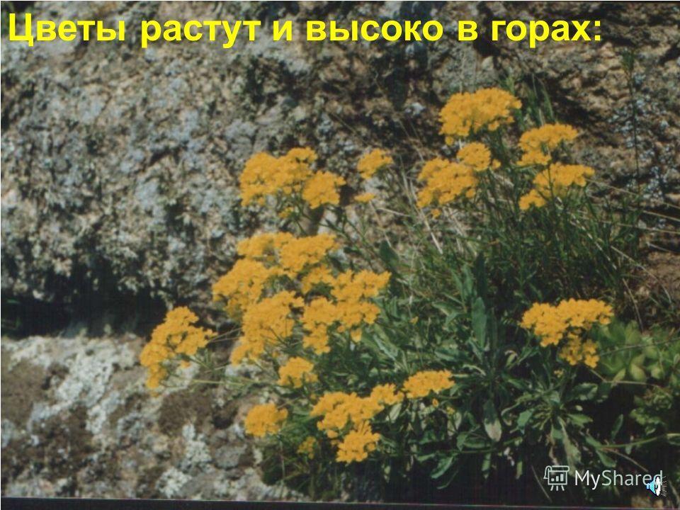 Даже в пустыне в песках растут цветы
