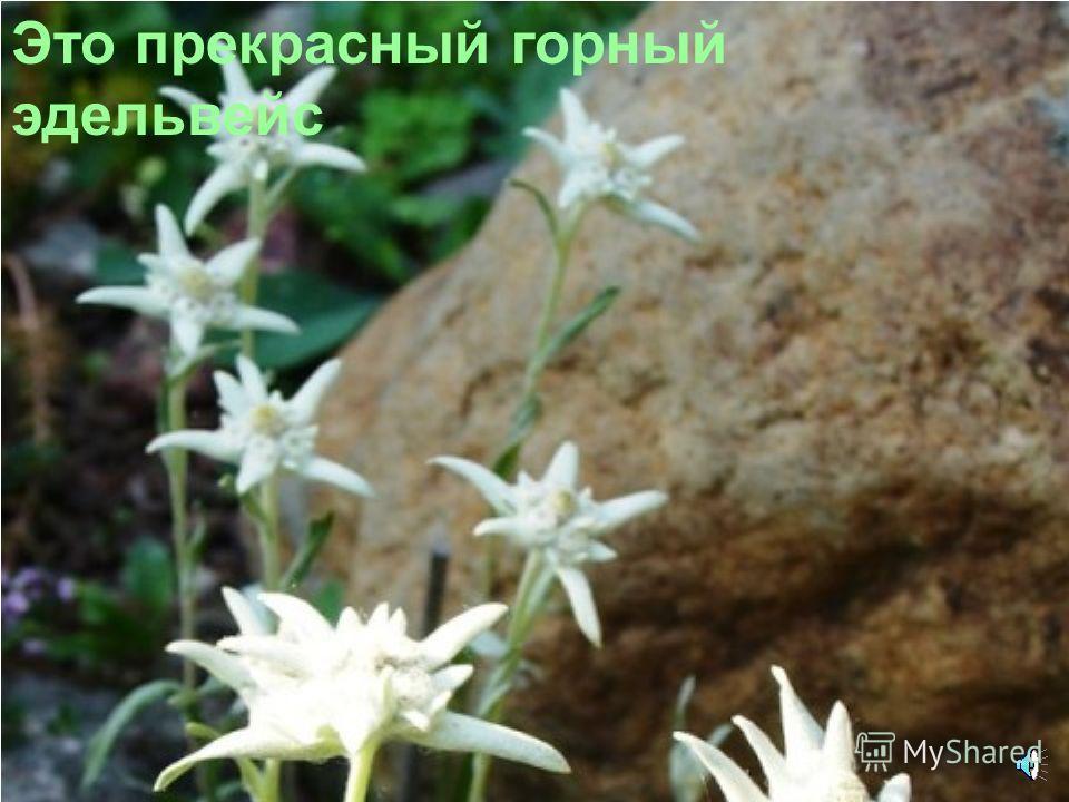 Цветы растут и высоко в горах: