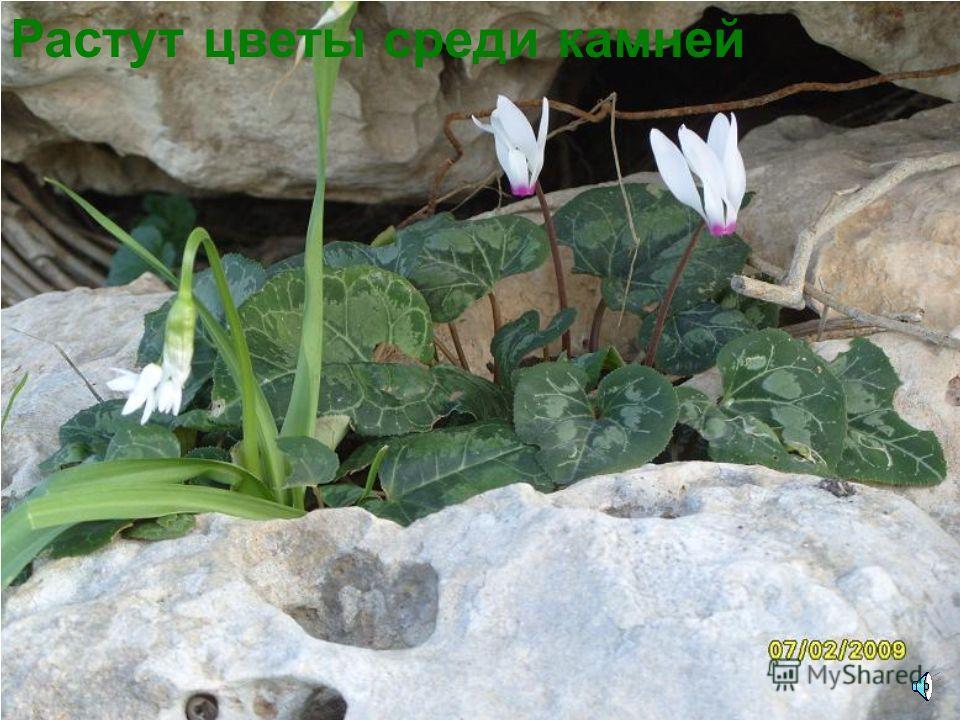 Горные колокольчики растут на скалах (Кавказ)