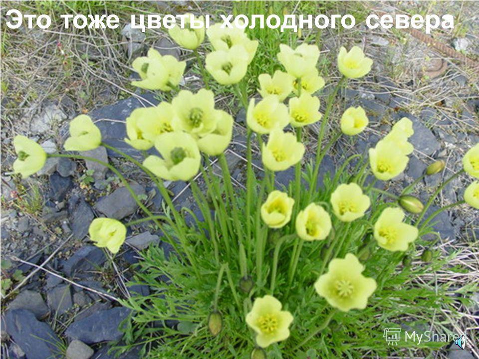 На фоне скудной растительности выросли такие чудные цветочки