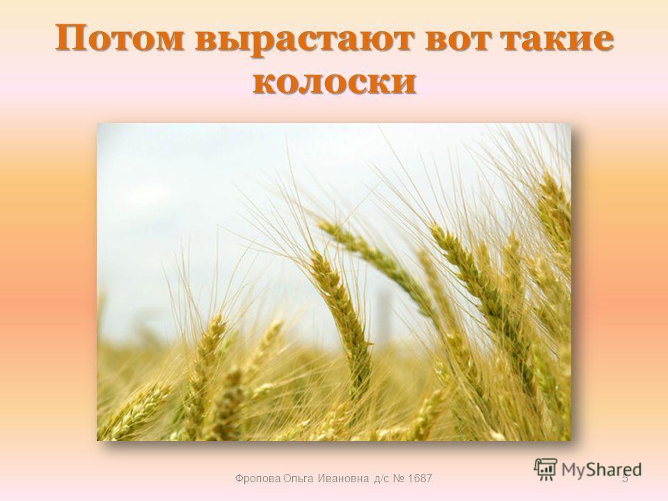 Потом вырастают вот такие колоски Фролова Ольга Ивановна д/с 16875