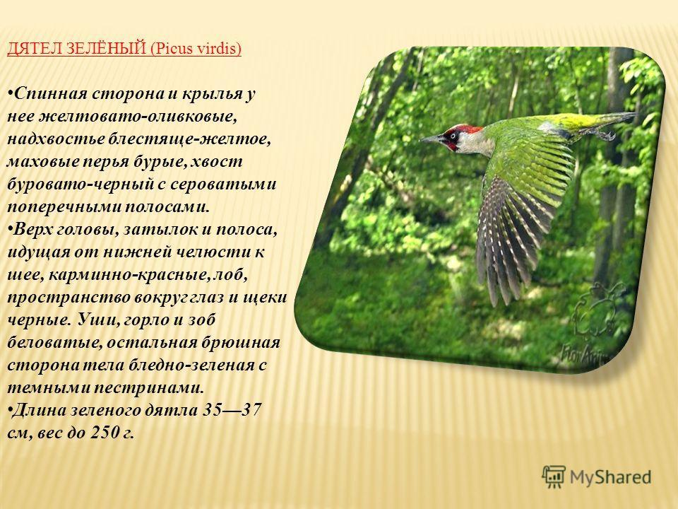 ДЯТЕЛ ЗЕЛЁНЫЙ (Picus virdis) Спинная сторона и крылья у нее желтовато-оливковые, надхвостье блестяще-желтое, маховые перья бурые, хвост буровато-черный с сероватыми поперечными полосами. Верх головы, затылок и полоса, идущая от нижней челюсти к шее,