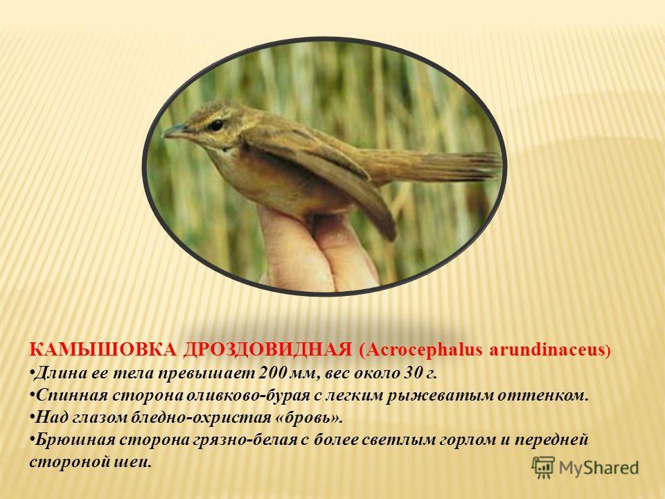 КАМЫШОВКА ДРОЗДОВИДНАЯ (Acrocephalus arundinaceus ) Длина ее тела превышает 200 мм, вес около 30 г. Спинная сторона оливково-бурая с легким рыжеватым оттенком. Над глазом бледно-охристая «бровь». Брюшная сторона грязно-белая с более светлым горлом и