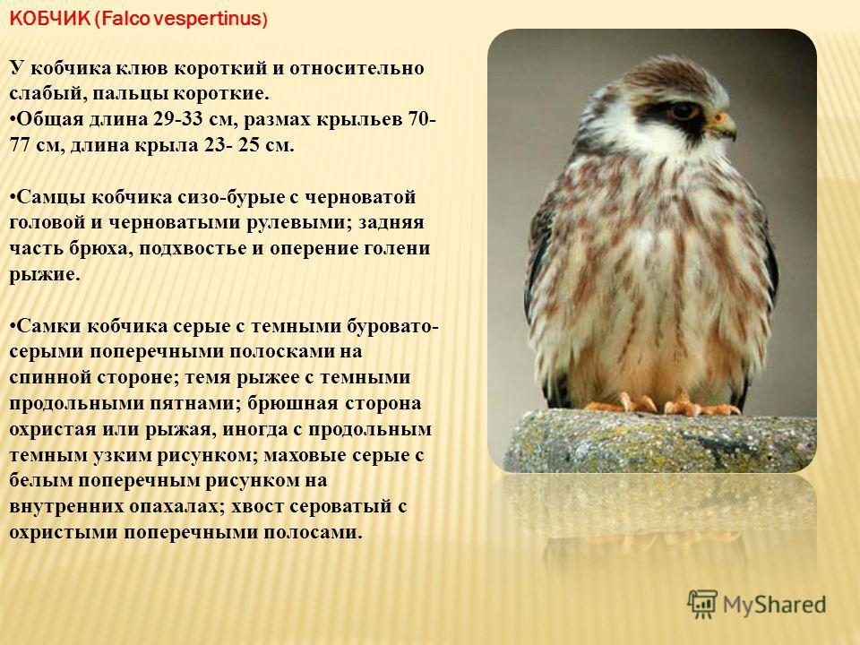 КОБЧИК (Falco vespertinus ) У кобчика клюв короткий и относительно слабый, пальцы короткие. Общая длина 29-33 см, размах крыльев 70- 77 см, длина крыла 23- 25 см. Самцы кобчика сизо-бурые с черноватой головой и черноватыми рулевыми; задняя часть брюх
