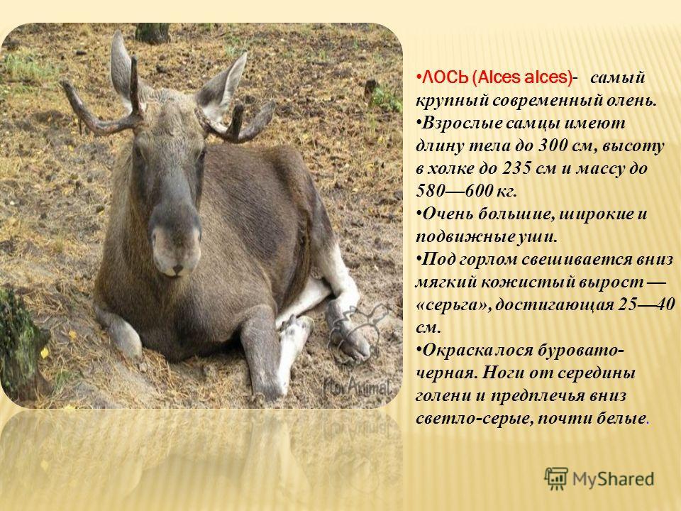 ЛОСЬ (Alces alces)- самый крупный современный олень. Взрослые самцы имеют длину тела до 300 см, высоту в холке до 235 см и массу до 580600 кг. Очень большие, широкие и подвижные уши. Под горлом свешивается вниз мягкий кожистый вырост «серьга», достиг