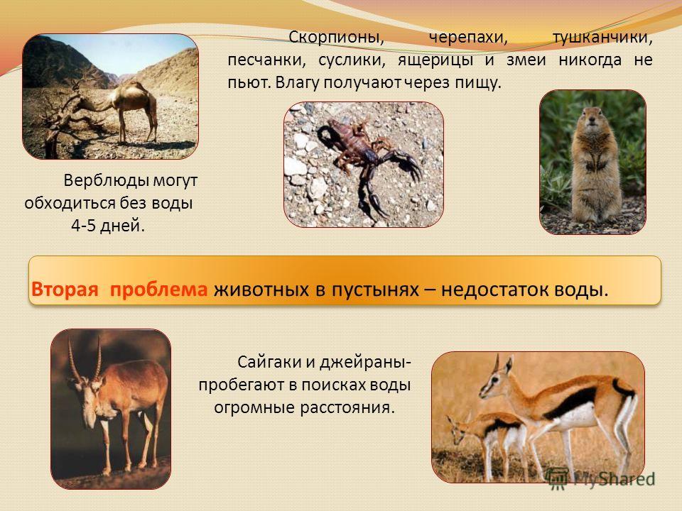 Верблюды могут обходиться без воды 4-5 дней. Вторая проблема животных в пустынях – недостаток воды. Сайгаки и джейраны- пробегают в поисках воды огромные расстояния. Скорпионы, черепахи, тушканчики, песчанки, суслики, ящерицы и змеи никогда не пьют.
