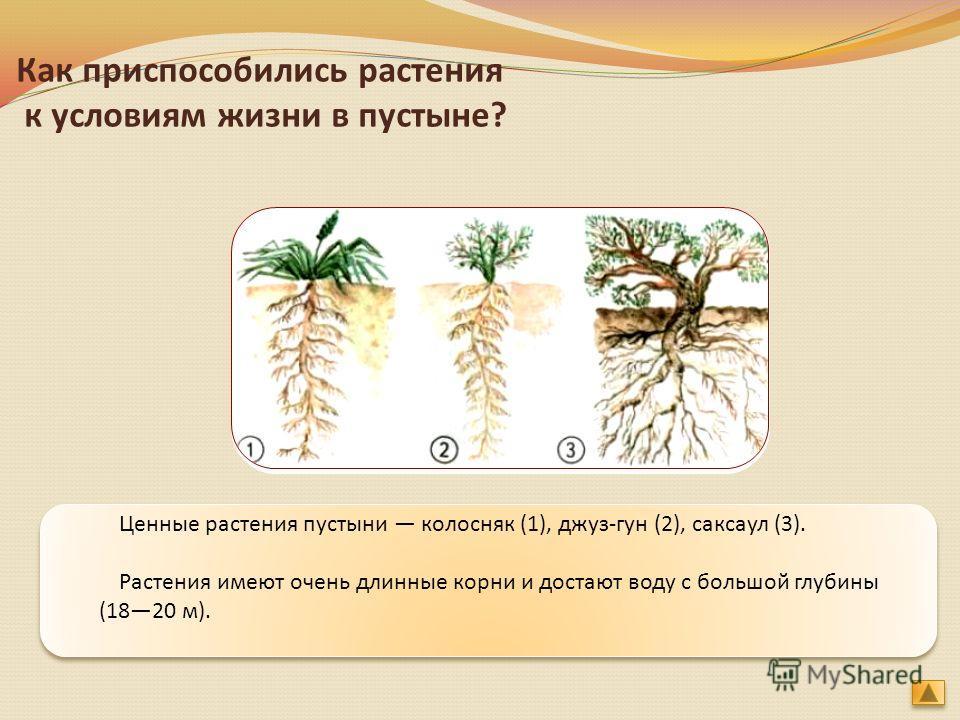 Ценные растения пустыни колосняк (1), джаз-гун (2), саксаул (3). Растения имеют очень длинные корни и достают воду с большой глубины (1820 м). Как приспособились растения к условиям жизни в пустыне?