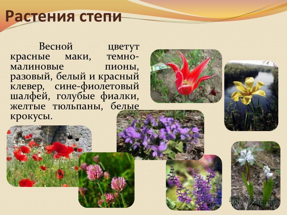 Растения степи Весной цветут красные маки, темно- малиновые пионы, разовый, белый и красный клевер, сине-фиолетовый шалфей, голубые фиалки, желтые тюльпаны, белые крокусы.