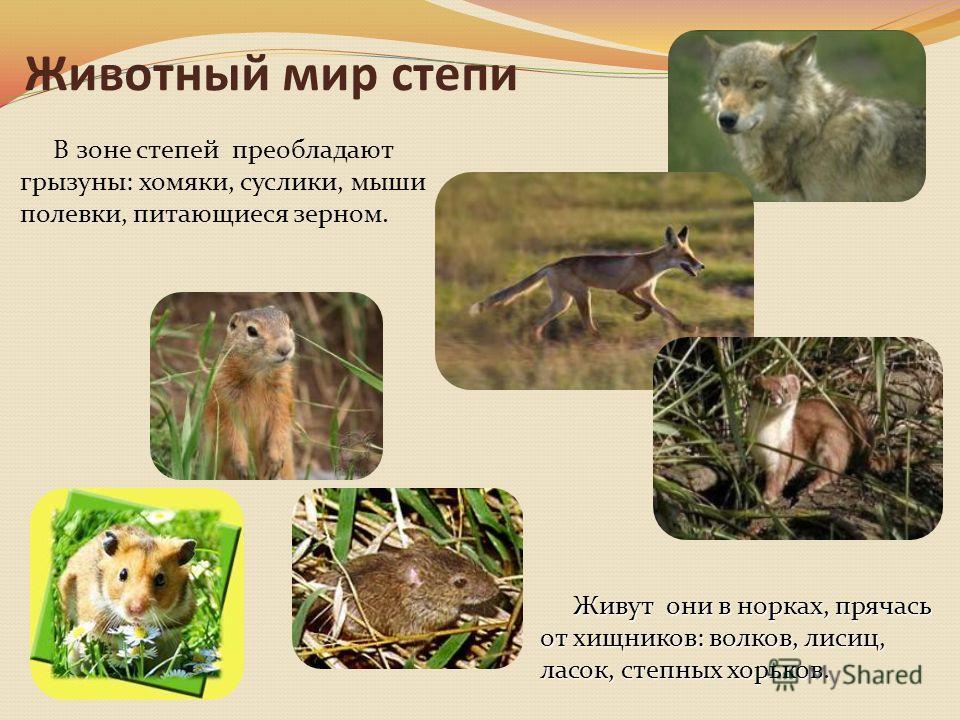 Животный мир степи В зоне степей преобладают грызуны: хомяки, суслики, мыши полевки, питающиеся зерном. Живут они в норках, прячась от хищников: волков, лисиц, ласок, степных хорьков. Живут они в норках, прячась от хищников: волков, лисиц, ласок, сте
