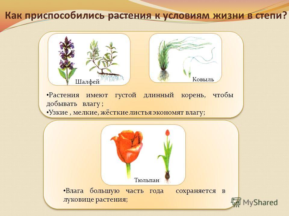 Влага большую часть года сохраняется в луковице растения; Растения имеют густой длинный корень, чтобы добывать влагу ; Узкие, мелкие, жёсткие листья экономят влагу; Как приспособились растения к условиям жизни в степи? Шалфей Ковыль Тюльпан