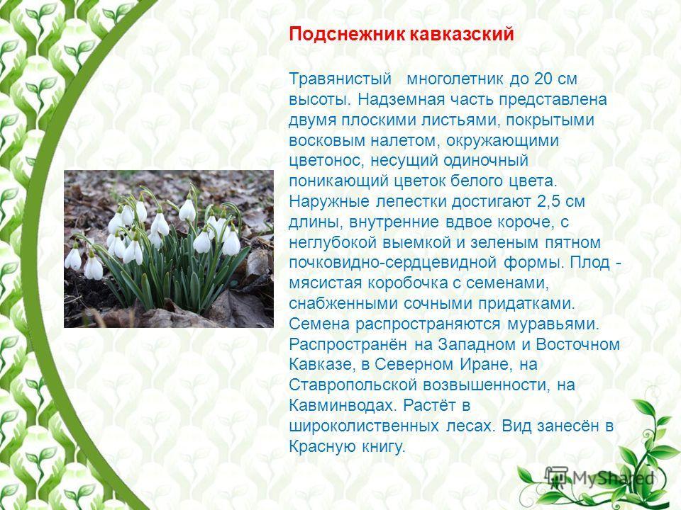 Подснежник кавказский Травянистый многолетник до 20 см высоты. Надземная часть представлена двумя плоскими листьями, покрытыми восковым налетом, окружающими цветонос, несущий одиночный поникающий цветок белого цвета. Наружные лепестки достигают 2,5 с