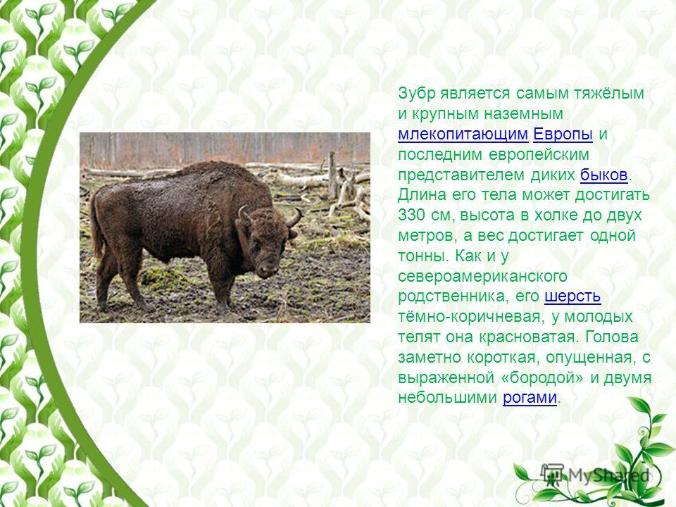Зубр является самым тяжёлым и крупным наземным млекопитающим Европы и последним европейским представителем диких быков. Длина его тела может достигать 330 см, высота в холке до двух метров, а вес достигает одной тонны. Как и у североамериканского род