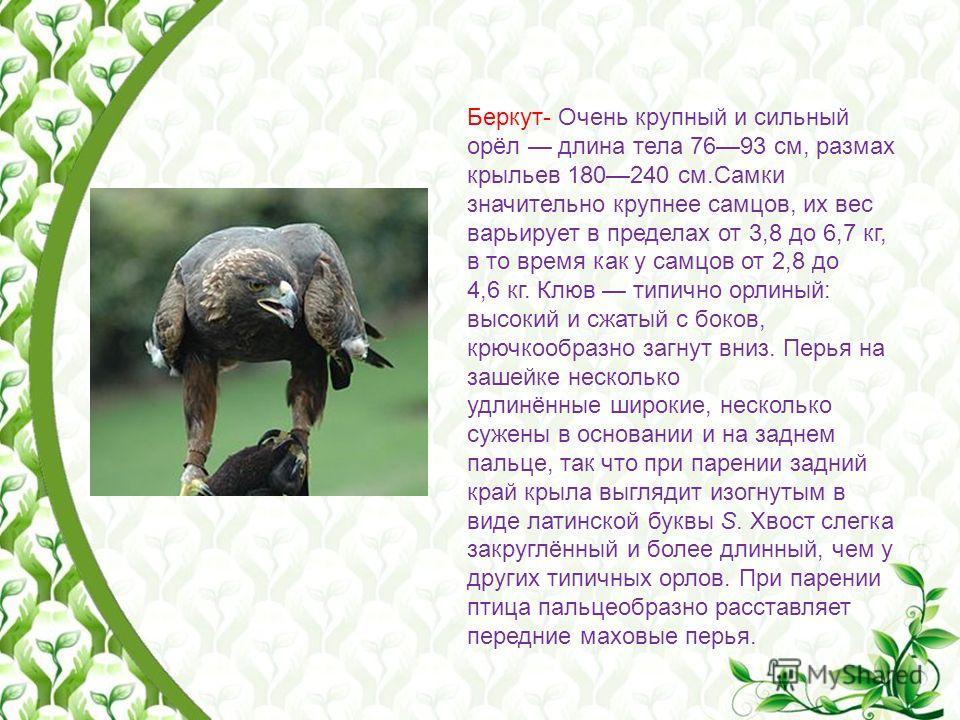 Беркут- Очень крупный и сильный орёл длина тела 7693 см, размах крыльев 180240 см.Самки значительно крупнее самцов, их вес варьирует в пределах от 3,8 до 6,7 кг, в то время как у самцов от 2,8 до 4,6 кг. Клюв типично орлиный: высокий и сжатый с боков