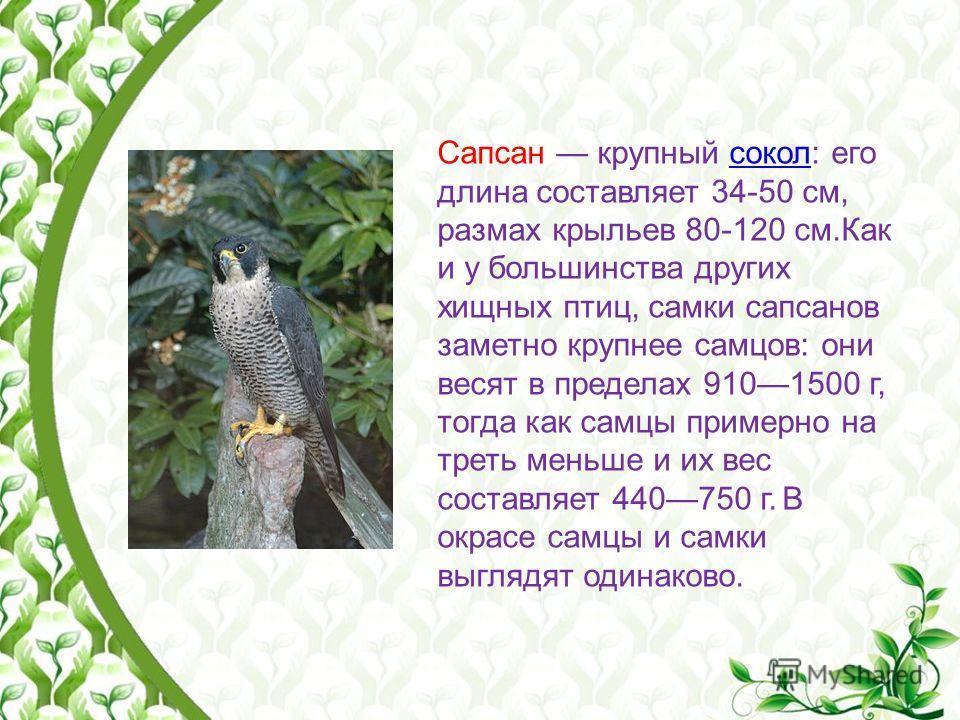 Сапсан крупный сокол: его длина составляет 34-50 см, размах крыльев 80-120 см.Как и у большинства других хищных птиц, самки сапсанов заметно крупнее самцов: они весят в пределах 9101500 г, тогда как самцы примерно на треть меньше и их вес составляет