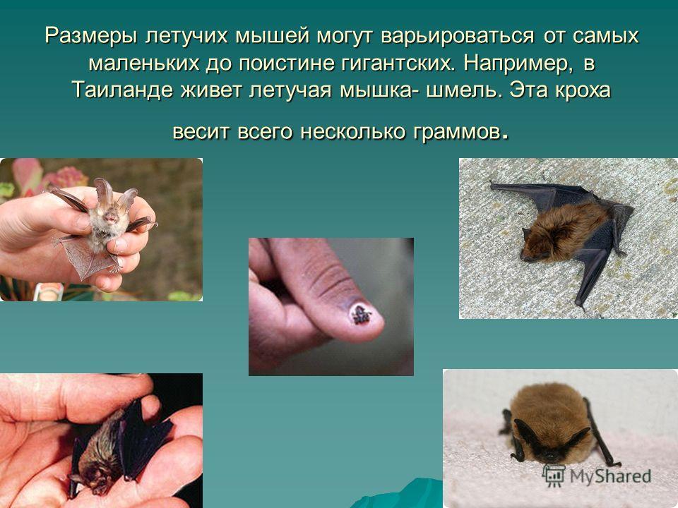 Размеры летучих мышей могут варьироваться от самых маленьких до поистине гигантских. Например, в Таиланде живет летучая мышка- шмель. Эта кроха весит всего несколько граммов.
