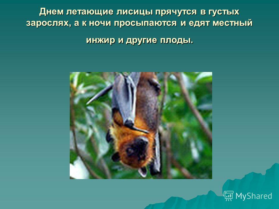Днем летающие лисицы прячутся в густых зарослях, а к ночи просыпаются и едят местный инжир и другие плоды.