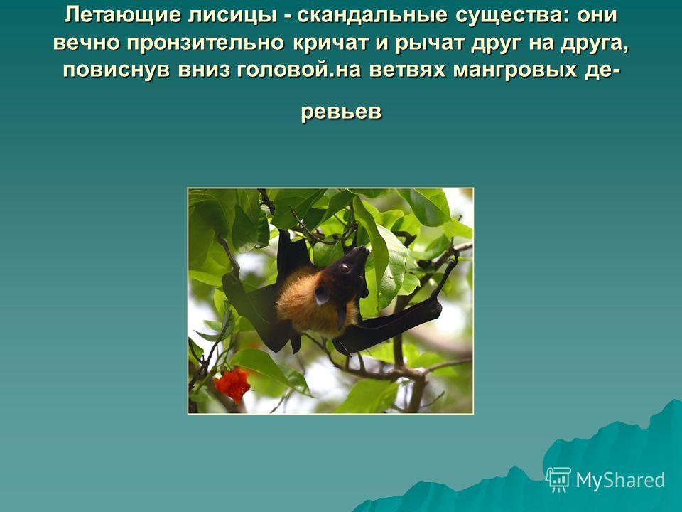Летающие лисицы - скандальные существа: они вечно пронзительно кричат и рычат друг на друга, повиснув вниз головой.на ветвях мангровых де ревьев