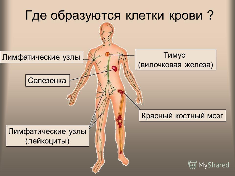 Где образуются клетки крови ? Селезенка Красный костный мозг Тимус (вилочковая железа) Лимфатические узлы (лейкоциты) Лимфатические узлы