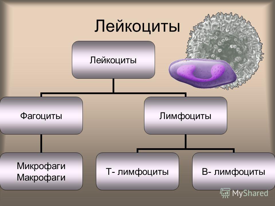 Лейкоциты Фагоциты Микрофаги Макрофаги Лимфоциты Т- лимфоциты В- лимфоциты
