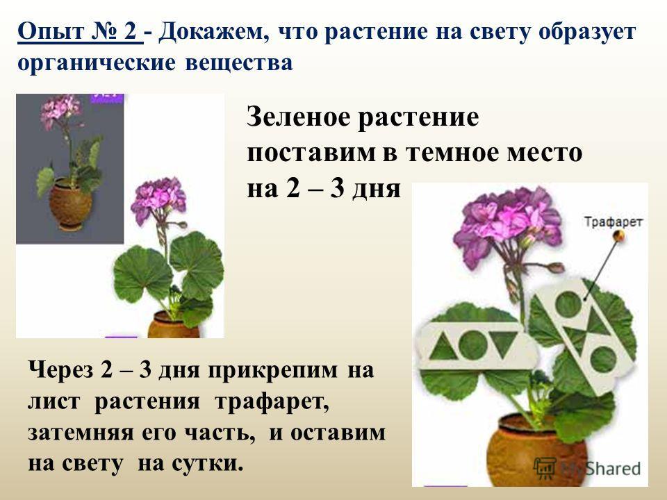Зеленое растение поставим в темное место на 2 – 3 дня Через 2 – 3 дня прикрепим на лист растения трафарет, затемняя его часть, и оставим на свету на сутки. Опыт 2 - Докажем, что растение на свету образует органические вещества