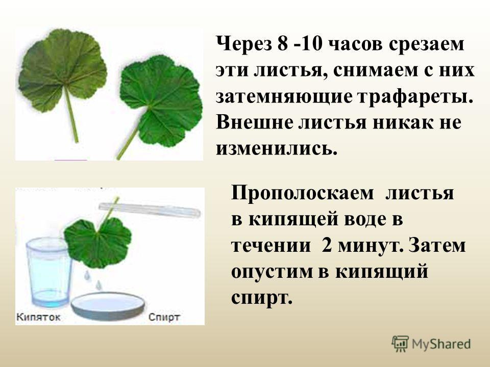 Прополоскаем листья в кипящей воде в течении 2 минут. Затем опустим в кипящий спирт. Через 8 -10 часов срезаем эти листья, снимаем с них затемняющие трафареты. Внешне листья никак не изменились.