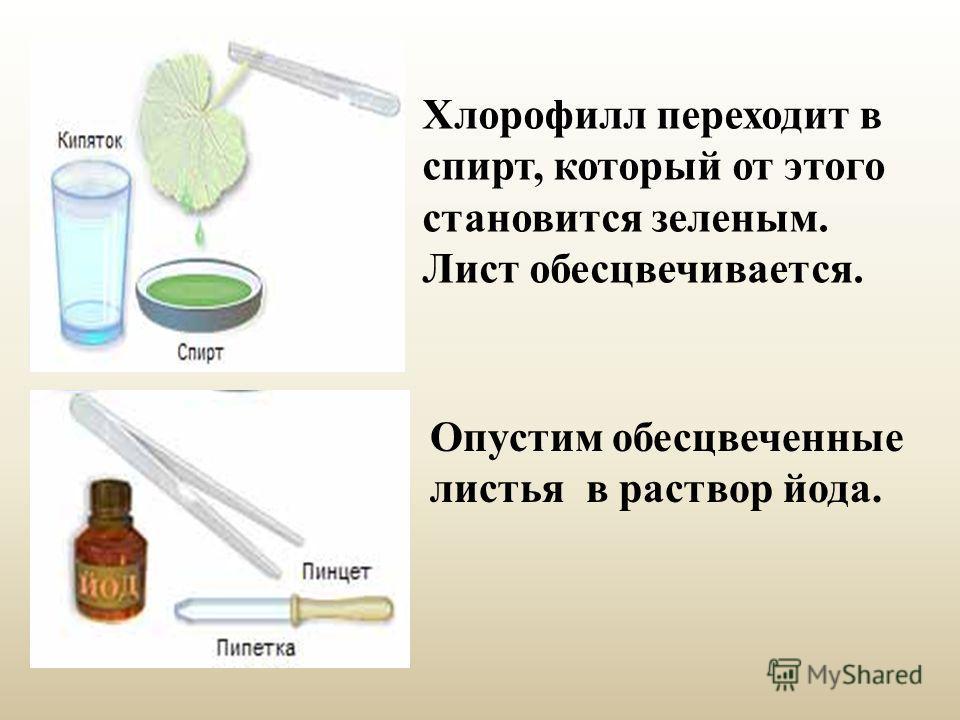 Хлорофилл переходит в спирт, который от этого становится зеленым. Лист обесцвечивается. Опустим обесцвеченные листья в раствор йода.