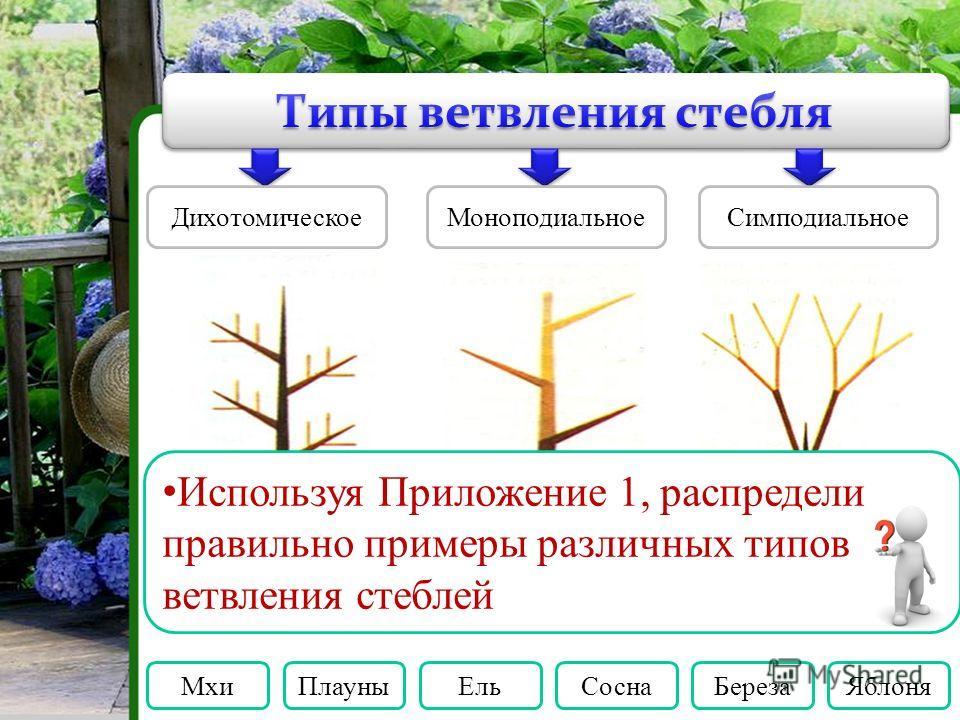 Дихотомическое МоноподиальноеСимподиальное Мхи ПлауныЕль СоснаБереза Яблоня Используя Приложение 1, распредели правильно примеры различных типов ветвления стеблей