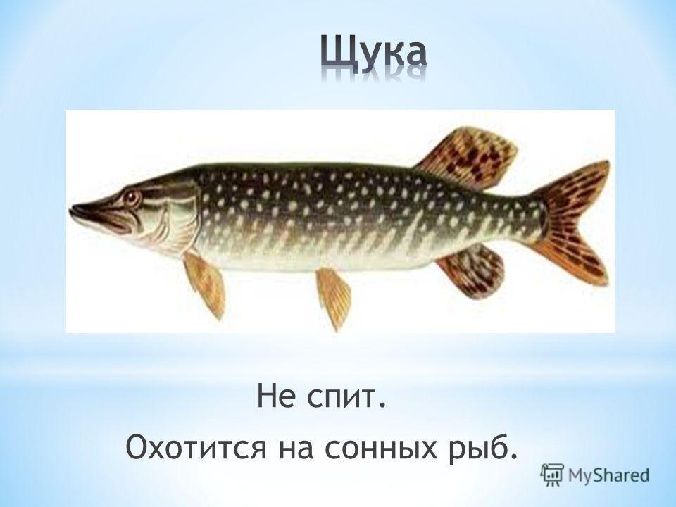 Не спит. Охотится на сонных рыб.