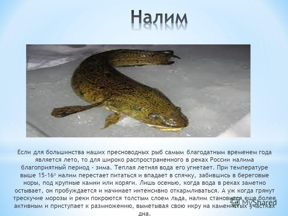 Если для большинства наших пресноводных рыб самым благодатным временем года является лето, то для широко распространенного в реках России налима благоприятный период - зима. Теплая летняя вода его угнетает. При температуре выше 15-16 о налим перестае