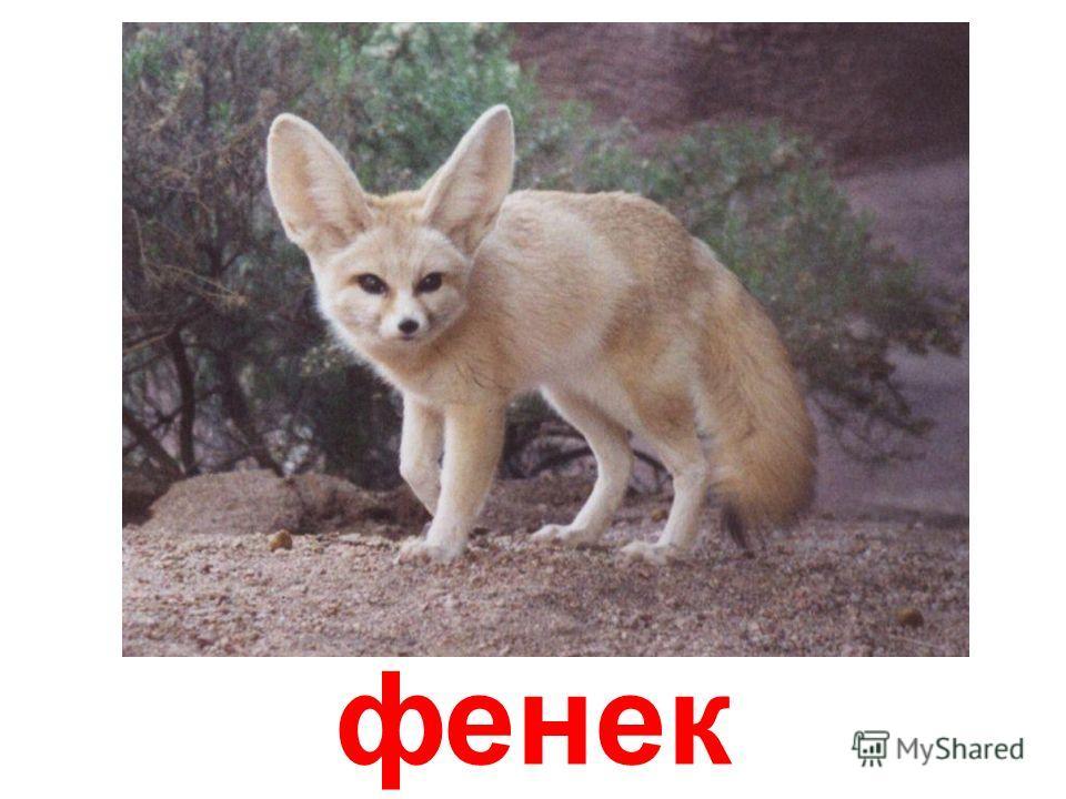великовуха лисица