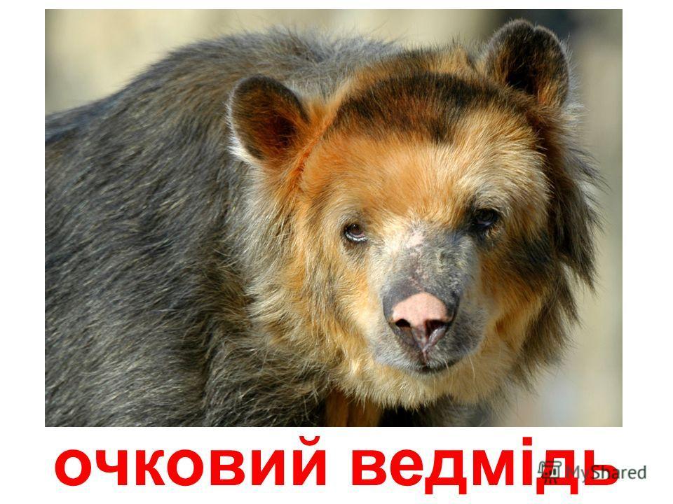 чорний ведмідь (барібал)
