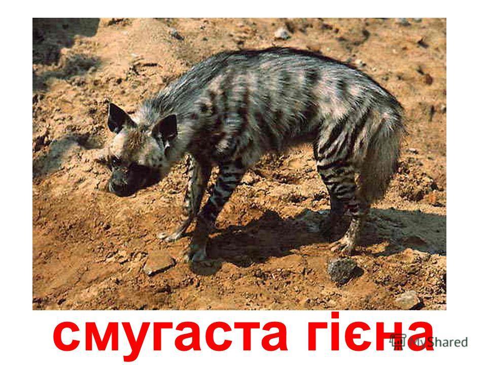 плямиста гієна