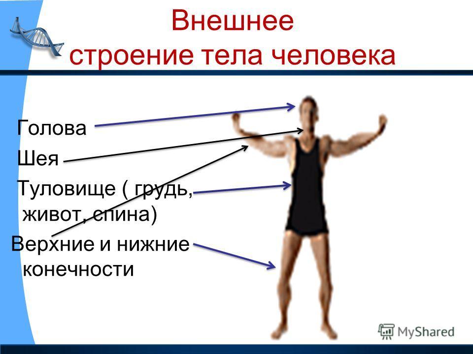 Внешнее строение тела человека Голова Шея Туловище ( грудь, живот, спина) Верхние и нижние конечности