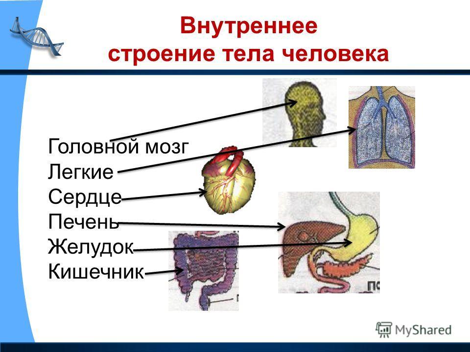 Внутреннее строение тела человека Головной мозг Легкие Сердце Печень Желудок Кишечник