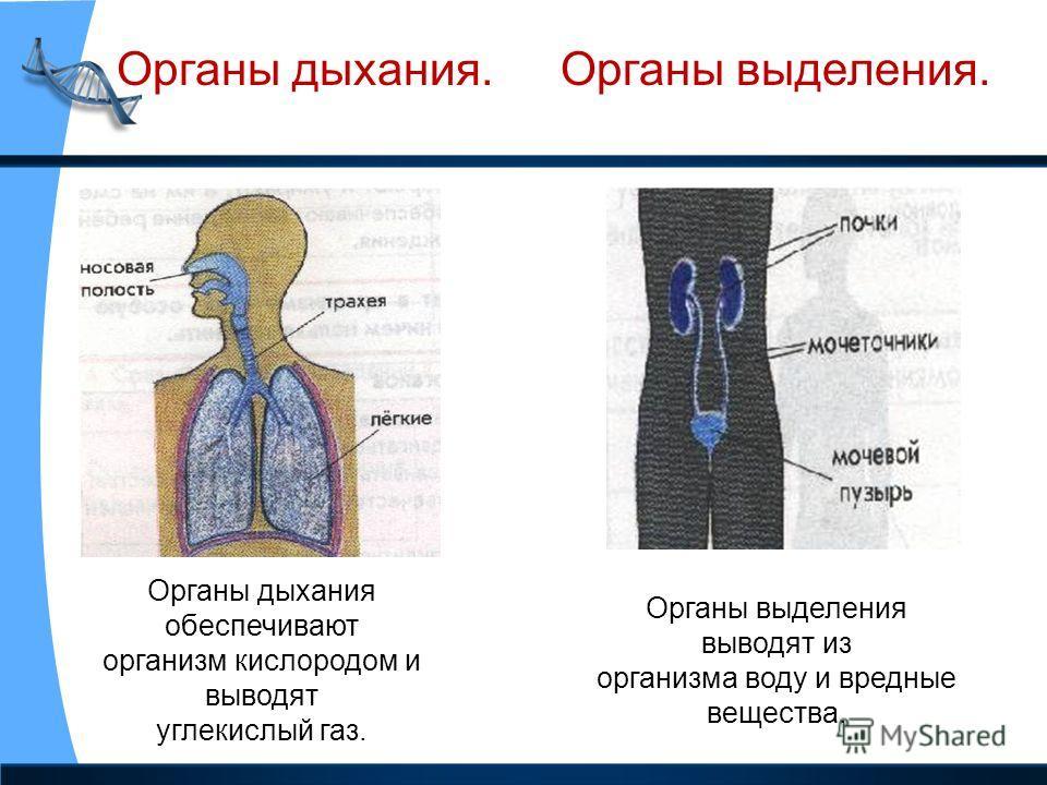 Органы дыхания.Органы выделения. Органы дыхания обеспечивают организм кислородом и выводят углекислый газ. Органы выделения выводят из организма воду и вредные вещества.